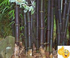 Bambu negro gigante semillas  frescas ecologicas seeds autentica