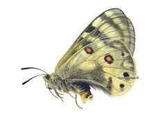 Unmounted Butterfly/Papilionidae - Parnassius staudingeri hissaricus, FEMALE