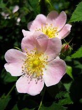 Rosa canina - Climbing Dog Rose - 50 Fresh Seeds