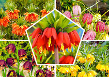 10pcs Fritillaria Flower Seeds Mixed Imperial Crown Bonsai Plant in Home Garden
