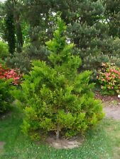 Hiba Arborvitae, False Arborvirae, Asunaro (THUJOPSIS dolabrata) 50 seeds