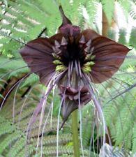 FLEDERMAUSBLUME - sieht fast aus wie eine Orchidee - wunderschön !