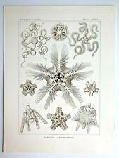 1899 Ernst Haeckel Kunstformen 1st ed. Original Antique Plate #10 - Ophiothrix