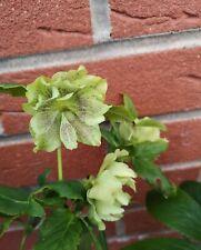 Hellebore Orientalis hybrids Double Petal 20 Seeds Open Pollinated Fresh Seeds