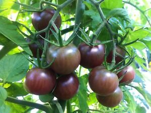 Black Cherry Tomato Seeds, 30 Seeds, BUY 2 GET 1 FREE, NON-GMO, FREE SHIPPING