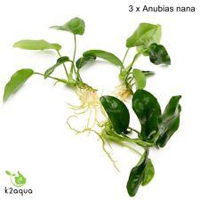 La Anubias Nana x3 Live plantas de acuario para madera tropical Aquascaping Tanque Co2 UE