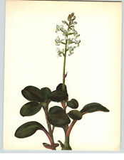 1922 Color Book Plate Framable Orchid Images Anoectochilus regalis Small  White