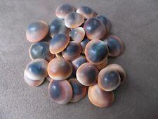 """25 Red Cat Eye Shells Natural Operculum Seashells Rare 1/2"""" - 1"""""""