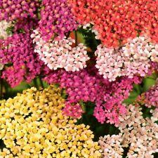 Schafgarbe Mix Steingarten Pflanze Staude mehrjährig winterhart 600 Samen Nr.339