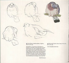 More details for beautiful vintage bird print ~ wood pigeon preening ~ tunnicliffe