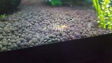 10 x Orange Eye tiger shrimp~ UK Breed~