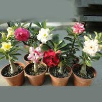 20pcs adenium obesum seeds desert rose perennial flower garden bonsai plantWTUS