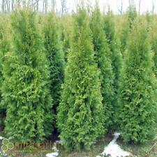 Thuja  Smaragd 180-200 cm Heckenpflanze Lebensbaum für eine Hecke