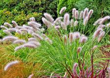 3 Pennisetum alopecuroides plugs Chinese Fountain Grass Autumn Winter Evergreen