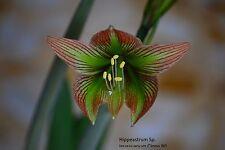Hippeastrum Rare Species Iguazuanum 10 seeds Last Lott