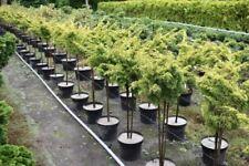 Gewöhnlicher Wacholder Bonsai (Juniperus) - Bäume