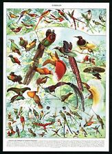 1928 Exotic & Tropical Birds of Paradise, Hummingbirds, Antique Print - Larousse