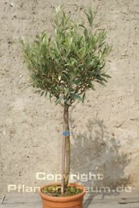 Olivenbaum Olea europaea Hochstamm