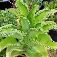 Mother of thousands millions Kalanchoe daigremontiana mexican hat 10 baby pups