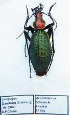 Carabus acoptolabrus schrencki hisakai (male A1) from SOUTH KOREA (Carabidae)