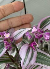 "Tradescantia  Nanouk Rare Pink Wandering Jew Live Plant 2 Cuttings 6+"" Long Gift"