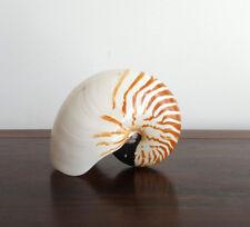 Nautilus sea shell, stripe natural, polished, real, 160mm(l), boho, beach decor