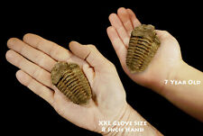 "Trilobite Fossil 3"" 3-5 Oz Calymene Rock and Mineral Healing Display Specimen"