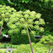 ANGELICA - 120 SEEDS -  HOLY GHOST - Archangelica officinalis - herb