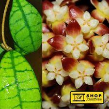 Hoya callistophylla Short leaf NEW - Pflanze