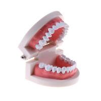Medicina Modelo de diente dental Enseñanza para la primera infancia para ni*ws