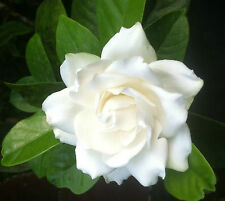 "GARDENIA - FROST PROOF -  CAPE JASMINE - WHITE -1 PLANT - 4"" POT - VERY FRAGRANT"