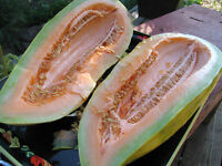 melon, BANANA MELON, rare HEIRLOOM, 10 seeds! GroCo