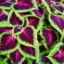 Wildflower Semences-Ortie-leaved Bellflower 2500 graines