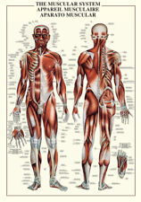 THE MUSCULAR SYSTEM Human Body Anatomy HUGE Wall Chart Reference POSTER