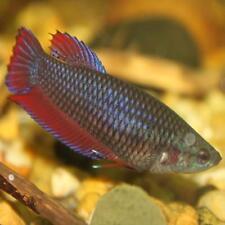 Female Peaceful Live Aquarium Fishes