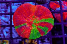 New listing Aussie Reverse Bleeding Apple Scoly, Live Coral, Sps, Lps, Wysiwyg Scolymia