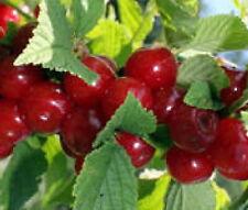 Nanking cherry tree seedling large bush shrub edible fruit LIVE PLANT