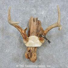 #14288 N   Whitetail Deer Antler Taxidermy Mount For Sale