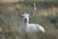 Framed Print - Majestic White Stag Sitting in the Grass (Picture Poster Animal)