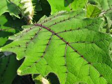 Solanum Quitoense | Naranjilla | Rare Tropical Plant Shrub | 20 Fresh Seeds