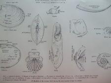 ANTIQUE PRINT C1870'S MOLLUSCA ENGRAVING SHELLS SCAPHOPODA CEPHALOPODA MARINE