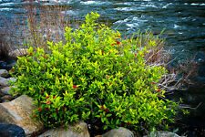 SPICE BUSH Pond Berry-Lindera melissifolia