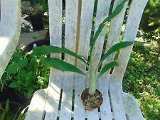 """Catasetum pileatum 'Aureum' 3"""" pot Rare Species"""