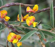 CAJANUS CAJAN pigeon pea gandules seed exotic edible beans rare gandul 50 SEEDS