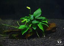 Anubias nana on Driftwood- Live Aquarium/Fish Tank Plant