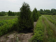 """WHITE CEDAR TREES ARBORVITAE THUJA SEEDLINGS 6-12""""  LOT OF 100"""