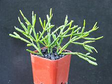 """Hatiora salicornioides exotic rare succulent bone cacti aloe plant cactus 2"""" pot"""