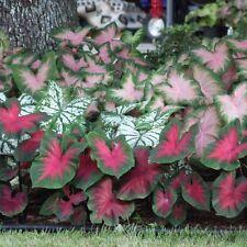 3 Caladium Mix Color Foliage Bulb Summer Blooming Plant