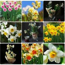 Daffodil Bulbs Narcissus Mix Colors Flower Hardy Perennial Bonsai Garden Plants