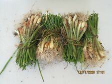 50 +  COUNT  SUPER SWEET VIDALIA ONION'S LIVE PLANTS - NOT SEED / SETS